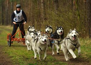 sled dogs-1105335_960_720
